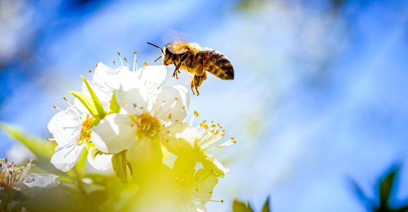 EU courts have again ruled that bees and other essential insects should be protected from dangerous pesticides.