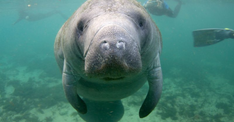 Florida manatees are chronically exposed to glyphosate.