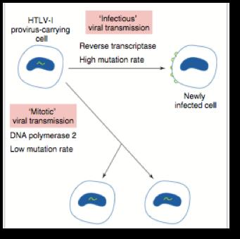 Retrovirus transmission