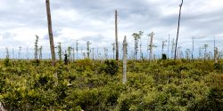 Throughout coastal North Carolina, evidence of forest die-off is everywhere.